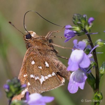 crystal skipper